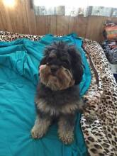 Cavoodle - Male Wallsend Newcastle Area Preview