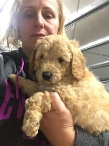 Northern Lights Groodle's and Cavoodles for sale Shepparton Shepparton City Preview