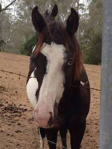 Registered Black and White Paint Gelding North Maclean Logan Area Preview