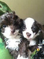 Darling Poo-Chi's (toy poodle/chihuahua)