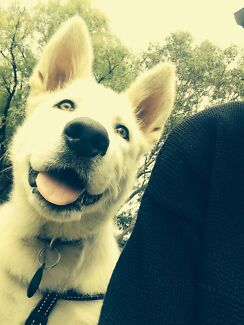 Samoyed & Malamute x Swiss Shepard (white German shepard) Adelaide CBD Adelaide City Preview