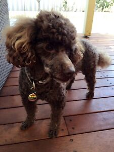 Chocolate Brown Toy Poodle is looking for a loving home Ardross Melville Area Preview