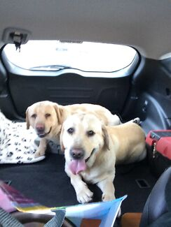 Labrador - free to good home Rooty Hill Blacktown Area Preview