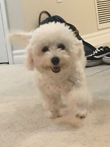 Not available for now!Small Bichon Frise for Rehoming London Ontario image 2