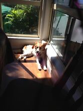 Free to good home - miniature border collie Mount Sheridan Cairns City Preview