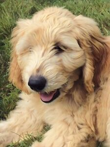 Gorgeous Goldendoodle Girl and Boy Waiting