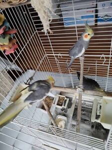 3 cockatiels with cage