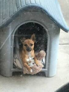 Chihuahua Female Dog Puppy 🐶 🐕 For Sale Age 2 1/2 Years Old
