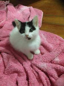 8 week old rescue female kitten for adoption Kenmore Brisbane North West Preview