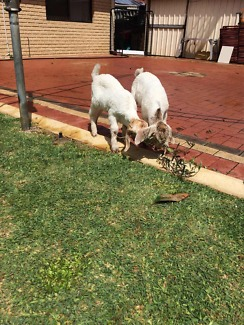 Baby pet goats for sale. Please call only