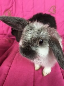 • PUREBRED MINI LOP BUNNIES • VET CHECKED • TOILET TRAINED • VERY CUTE Hoppers Crossing Wyndham Area Preview