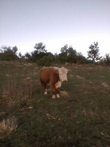 miniature  hereford steer pet , lawnmower or freezer Sorell Sorell Area Preview