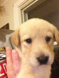 Lab mix puppies