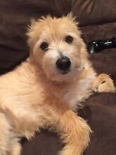 male malteses x aussie terrier for sale Warwick Southern Downs Preview