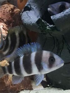 Frontosa cichlid for sale Liverpool Liverpool Area Preview