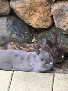 TWO FEMALE DWARF NETHERLAND RABBITS AND LARGE HUTCH Bilambil Heights Tweed Heads Area Preview