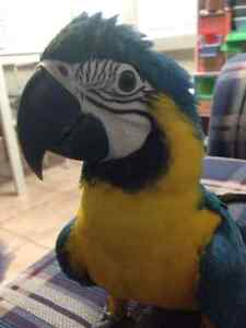 BLUE AND GOLD MACAWS HAND REARED PARROTS FOR SALE Denham Court Campbelltown Area Preview