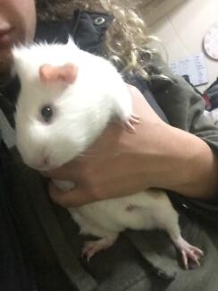 Guinea pig giveaway