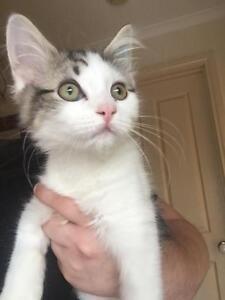 Kitten for adoption ALL VET WORK DONE Sydenham Brimbank Area Preview