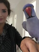 Lost blue Indian Ringneck parrot Red Hill Brisbane North West Preview