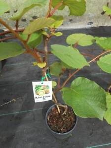 Kiwi Fruit vines, male and female,  $49 a pair West Ballina Ballina Area Preview