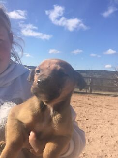 Kelpie x boxer/bull Arab/red cattle dog puppies Oberon Oberon Area Preview