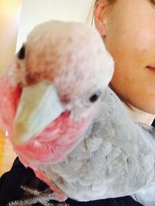Hand reared 6 month old tame male galah Newhaven Bass Coast Preview