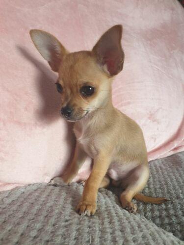 Dog Breed Mailbox - Chihuahua