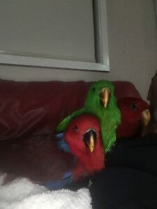 Ecelctus Parrot Baby Lidcombe Auburn Area Preview