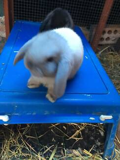 cute baby mini lop bunnies for sale
