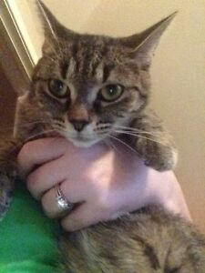 2 year tabby for rehoming