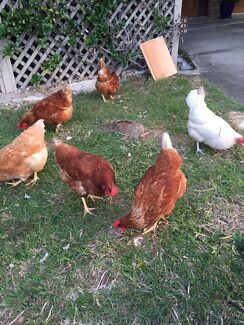 Two home fed free range live chicken for sale Sunnybank Hills Brisbane South West Preview