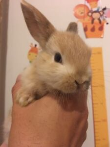 Cute bunny rabbits 6 weeks old ready to go new home Box Hill North Whitehorse Area Preview