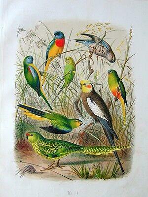 Ornithologie Zoologie Papageien Reichenow Chromo Lithographie 1878