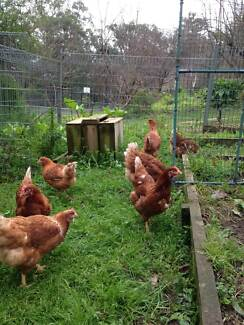 Chickens ISA Brown type 20 weeks $24. Special 3 for $70 Guys Hill Cardinia Area Preview