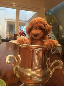 Toy Poodle Pups - Red, Apricot and Chocolate Pure Bred Prestons Liverpool Area Preview