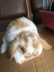 7 weeks pure mini lop bunnies ready 2 go Denistone East Ryde Area Preview