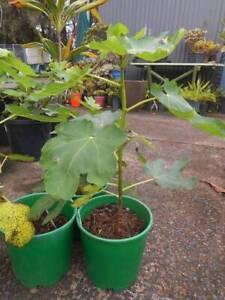 Black Genoa Fig trees West Ballina Ballina Area Preview