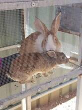 Quick sale for a pair of rabbits Salisbury Downs Salisbury Area Preview