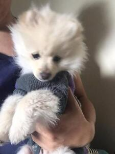4 months Pom for sale, come along with everything he needs Page Belconnen Area Preview