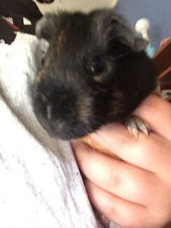 2 guinea pigs and hutch  Riverwood Canterbury Area Preview