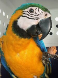 MACAW-BLUE & GOLD - Looking for my forever home. REDUCED $4,500.00