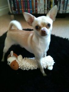 Puppy Chihuahua Pret a 3 mois - Dog Chien