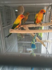 Pair Of Year Old Sun Conures