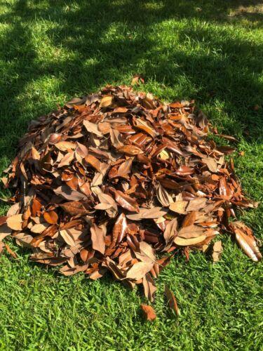Best Quality MAGNOLIA LEAF Leaves Terrarium Dart Frog VIVARIUM  1 Gallon bag
