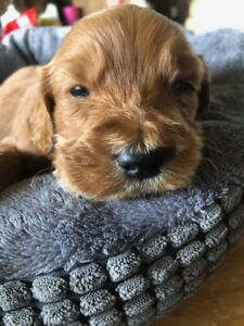 Goldendoodle Puppies F2