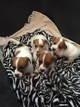 Stunning purebred Jack Russell puppies North Burnett Area Preview
