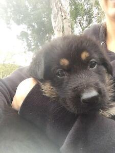 Pure bred German Shepard pups Lidcombe Auburn Area Preview
