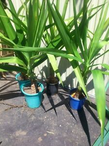 Yucca plants $5 each Bexley Rockdale Area Preview