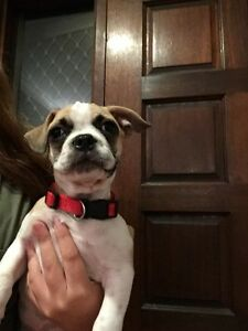 Male French Bulldog x Pug (Frug) Mount Pleasant Melville Area Preview